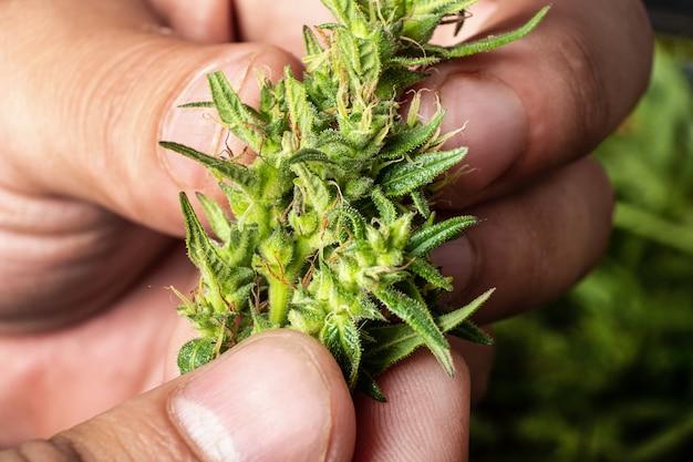 손에 마리화나 콘이 의료 대마초 공장을 닫습니다