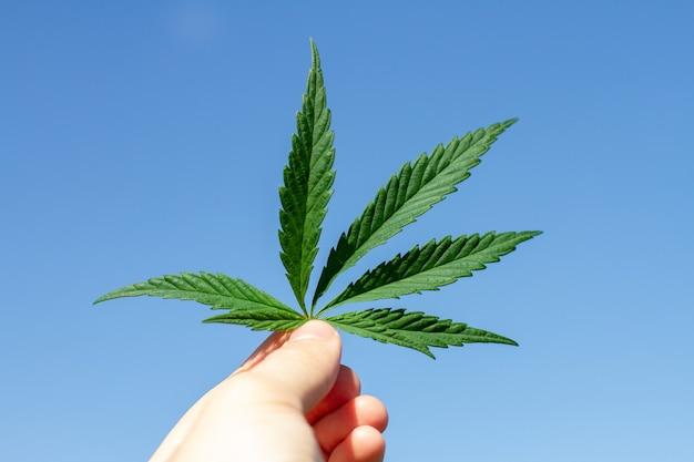 Marijuana hemp leaves are in the hands. blue sky background.