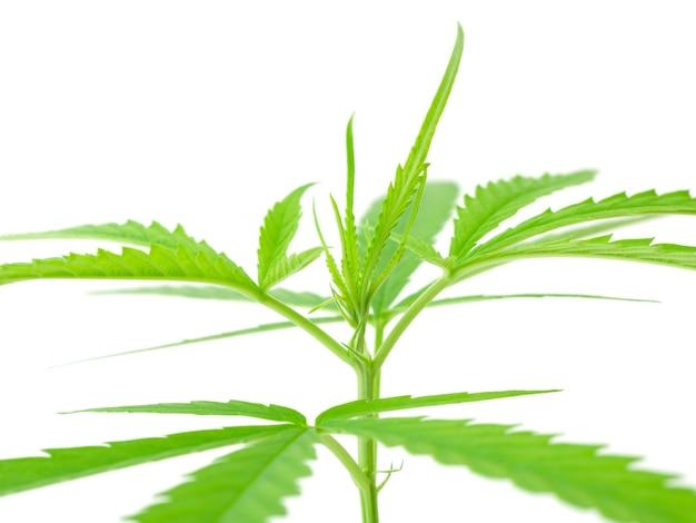 Листья марихуаны, свежие зеленые ветки конопли, изолированные на белом фоне