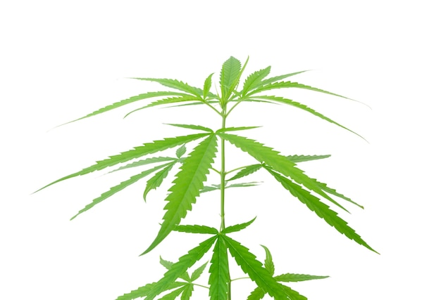Marijuana leaves,cannabis branch fresh green isolated on white background