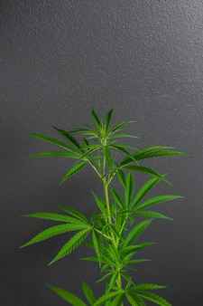 Marijuana leaves, cannabis on a dark background