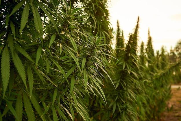 Марихуана оставляет растения каннабиса на фоне фермы на закате