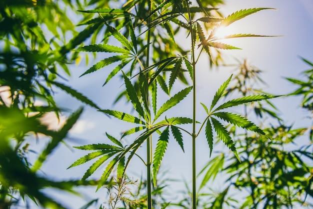 마리화나 잎은 여름 해질녘에 자랍니다.