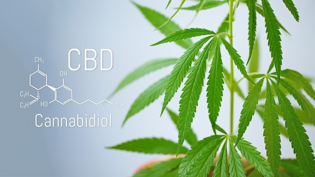 Marijuana leaves with cbd chemical structure, cbd cannabis formula