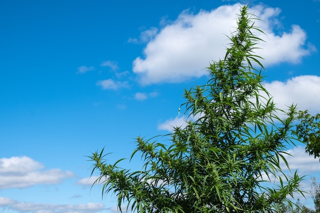 야외 복사 공간에서 꽃이 피는 푸른 하늘 배경 대마초에 마리화나 식물