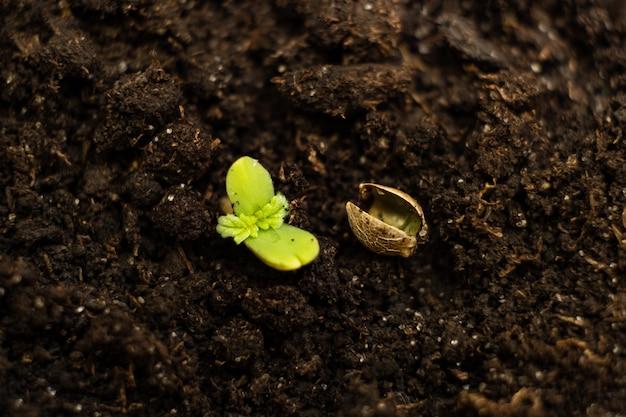 마리화나 씨앗이 어린 대마초 새싹을 뚫고 나옵니다.