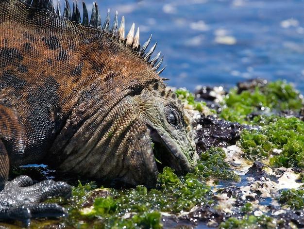 Marine iguana is eating seaweed on the shore