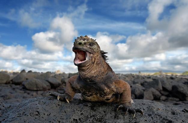 ウミイグアナは岩の上に座っています