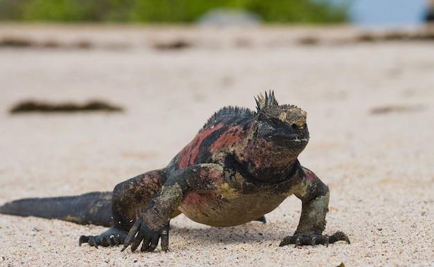 ウミイグアナは白い砂の上に座っています