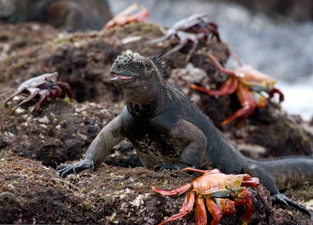 Marine iguana is sitting on a rock surrounded by red crabs