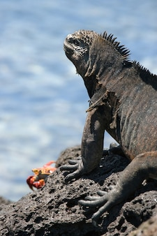 Marine iguana is sitting on the rocks against the background of the sea