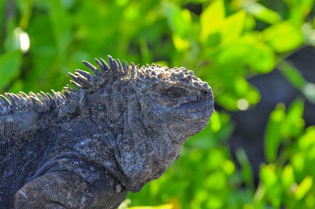 Marine iguana in natural environment