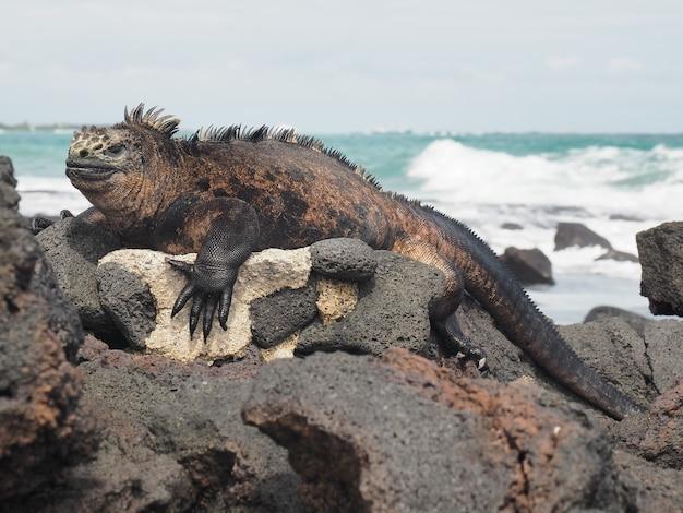 Морская игуана на скалах у пляжа, снятая днем