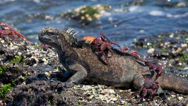 Marine iguana with a red crab on its back is sitting on a stone