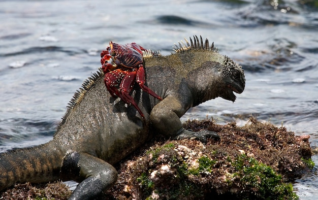 Marine iguana with a red crab on its back sits on a stone against the background of the sea