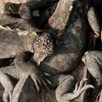 Marine iguanas (amblyrhynchus cristatus), punta espinoza, fernandina island, galapagos islands, ecuador