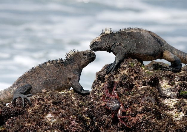 Marine iguanas are sitting on the rocks against the backdrop of the sea