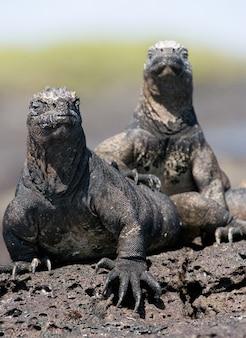 Marine iguanas sitting on the rocks