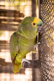 Maritaca, brazilian bird of the parrot species. bird trapped in a large cage, smuggling and illegal sale of wild animals