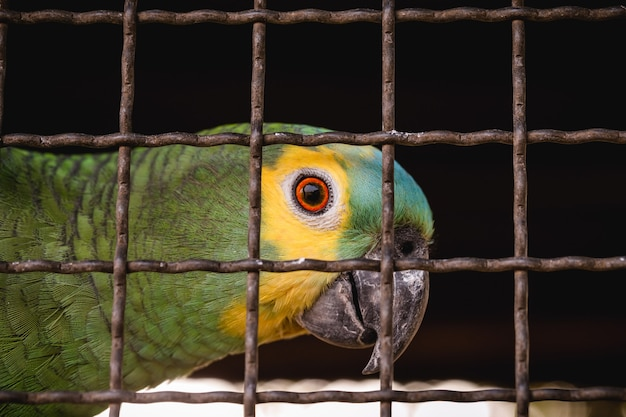 Maritaca, brazilian bird of the parrot species. trapped animal, smuggling and illegal sale of wild animals