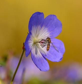Мармелад журчалка сидит на фиолетовом цветке журавля (герань), изолированном на желтом