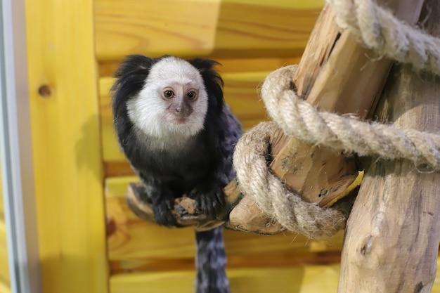 木の枝に座っているマーモセットのサル。小猿。動物園。