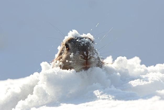 雪の中のマーモット