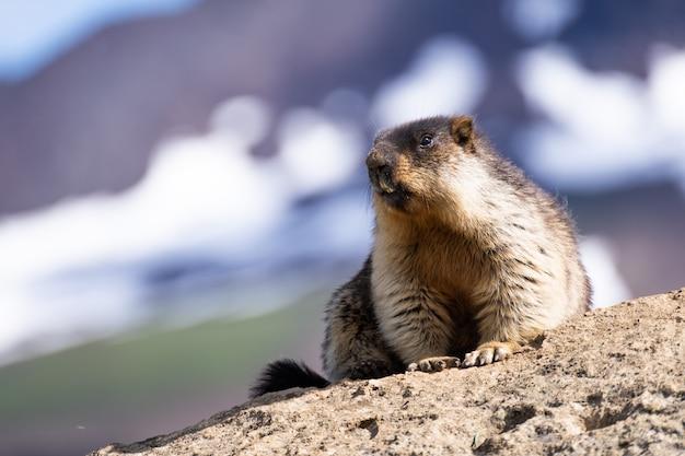 Marmot posing in front of a snowy mountain scenery in austria