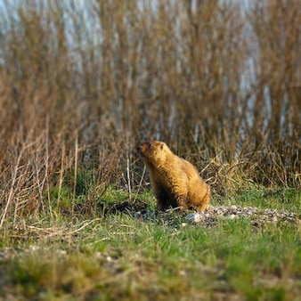 Marmot in the spring meadow