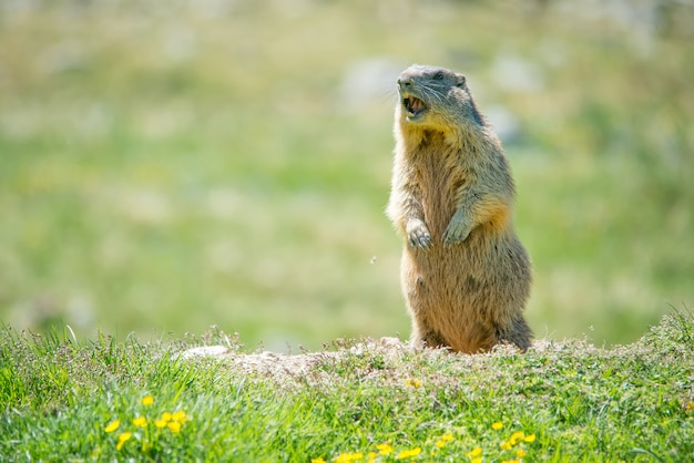 Marmot whistling to give alarm