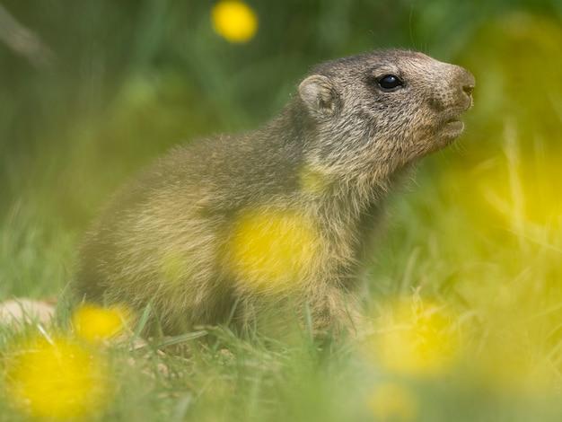 ヨーロッパの春の山の野生生物の黄色い花と牧草地のマーモット