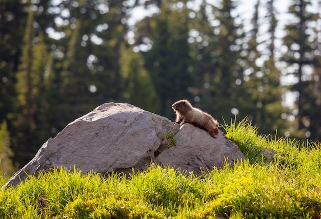 夏の山の牧草地、北アメリカの野生の自然のマーモット