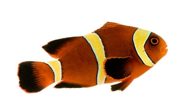 Золотая полоса maroon clownfish - premnas biaculeatus на белом