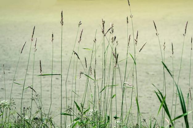 湿地草緑の抽象的な背景。水の近くに葦の葉と自然な背景。