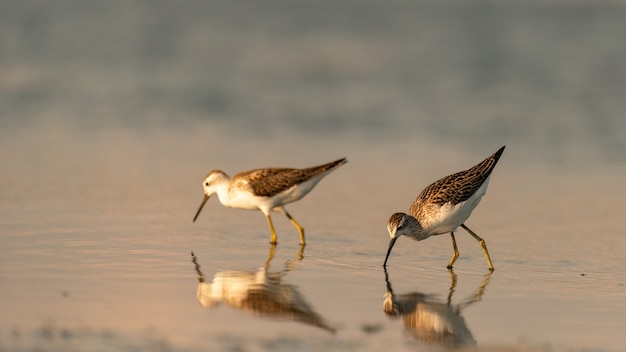 습지 도요새 tringa stagnatilis가 강에서 먹이를 먹고 있습니다.
