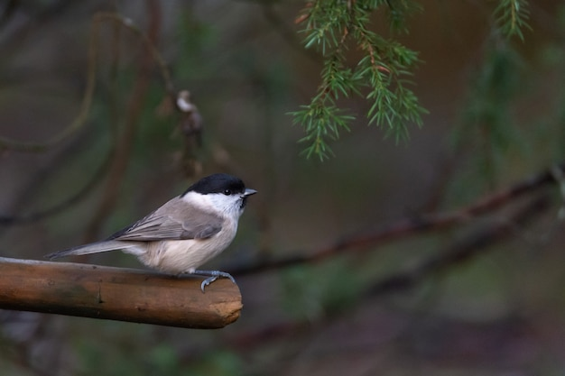 Marsh tit, (poecile palustris) sitting on a branch in forest.