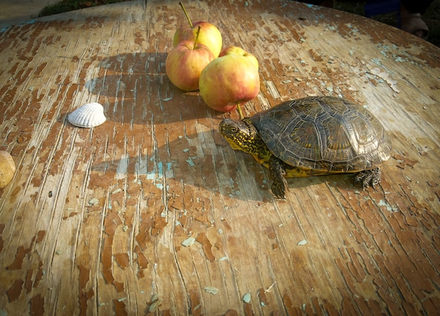 ホオジロクロガメと若いリンゴ