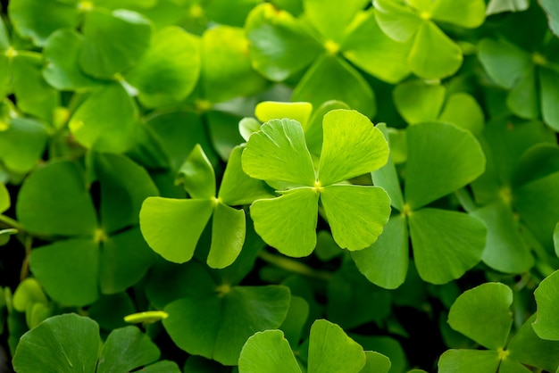 Marsilea crenata or water clover green leaves on nature background.