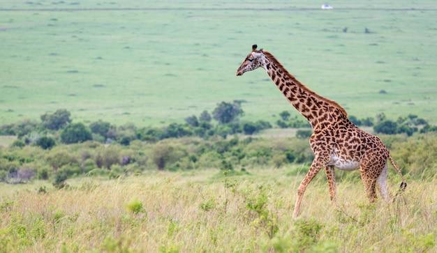 Жираф масаи в кенийской саванне на лугу
