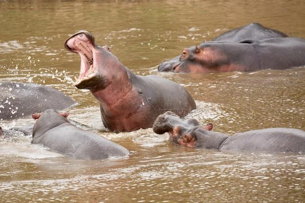 Много бегемот в реке masai на национальном парке masai mara в кении, африке.