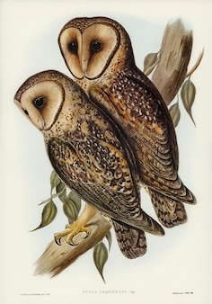 Masked barn owl (strix personata, vig) illustrated by elizabeth gould