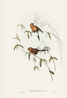 Masked grass finch (poephila personata) illustrated by elizabeth gould