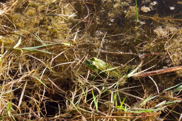 沼の緑のカエルの泥水に覆われている