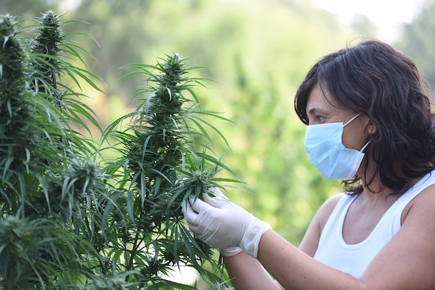 야외 수확에 cbd 대마 식물을 돌보는 가면을 쓴 여자