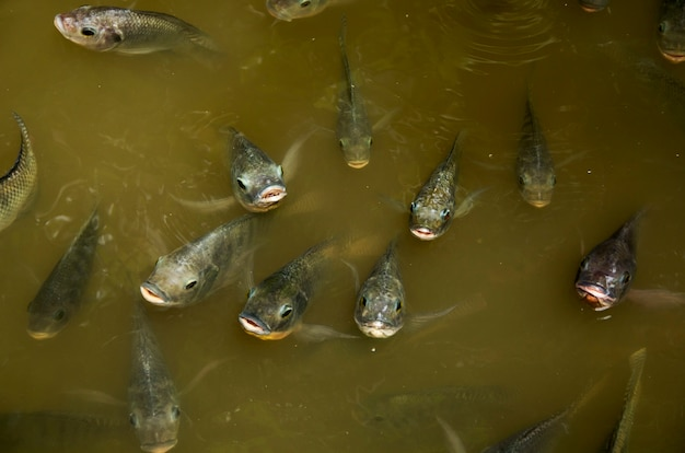 Masses fish nile tilapia breathe above water food begging