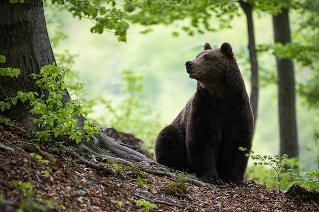 Массивный бурый медведь сидит на земле в окружении зеленых листьев в лесу