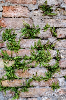 Massive wall with green plants. mossy rustic stone wall closeup photo texture.  green moss on stone closeup