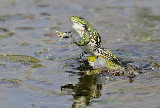 アカガエルの交尾行動。素晴らしいアングルと素晴らしい交尾シーン。