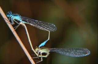 Mating dragonflies, plants