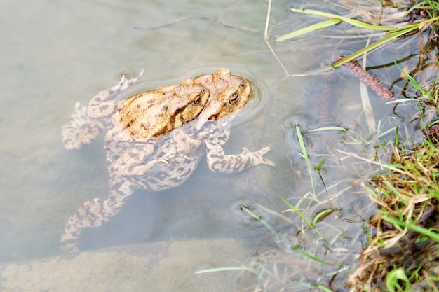 Mating frogs in the lake
